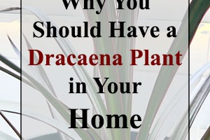 Why you should have a Dracaena plant in your home