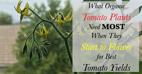 What organic tomato plants need most when they start to flower for best tomato yields.