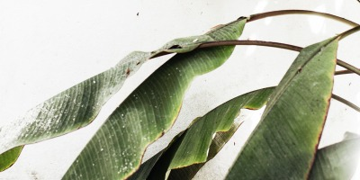 How to care for a Dwarf Cavendish banana plant indoors