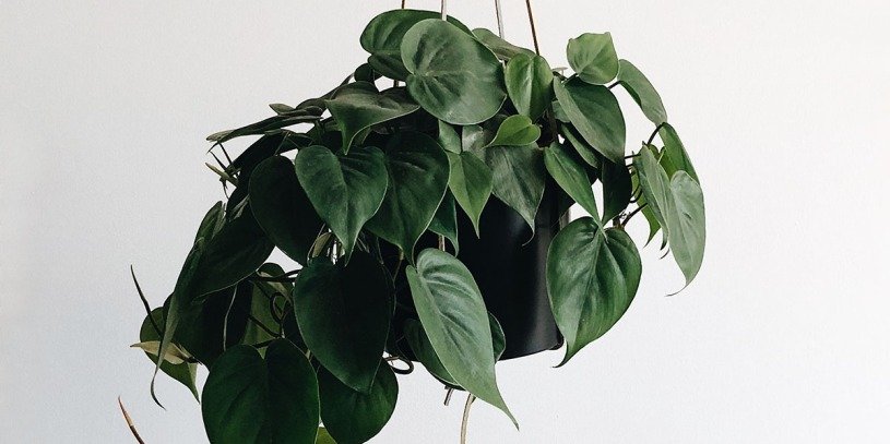 Get help with gnats on Pothos plants